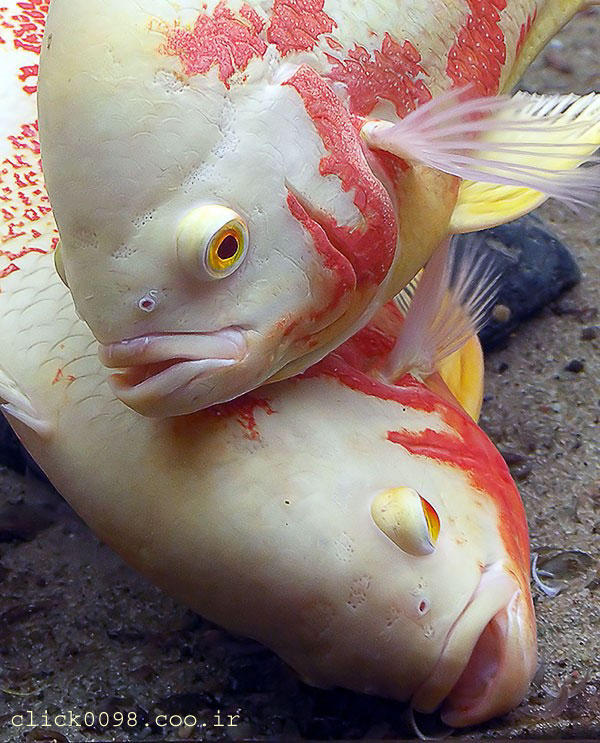 oskar3click098 - معرفی انواع ماهی ها در این بخش - متا