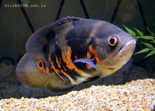 oskar5click0098 - معرفی انواع ماهی ها در این بخش - متا