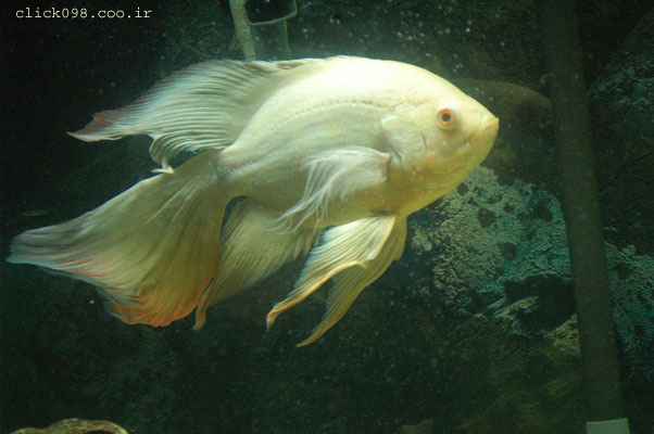 oskar6click0098 - معرفی انواع ماهی ها در این بخش - متا